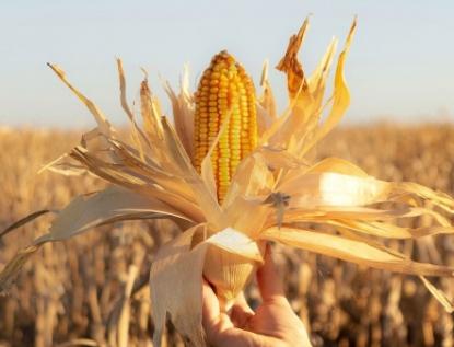 Aumentará cultivo de maíz en México pero se encarecerá su producción