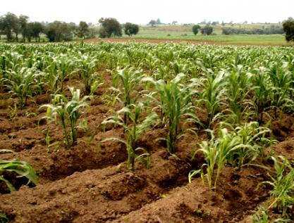 Necesario, estudiar la diversidad de razas de maíz de México