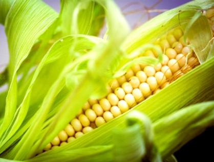 Proponen equilibrio entre las posiciones conservacionista y científica ante el maíz