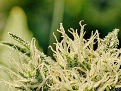 Urgen a Secretaría de Salud emitir reglamento sobre uso terapéutico de cannabis