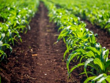 Caña de azúcar, maíz, jitomate, naranja, trigo grano y plátano, principales cultivos de México