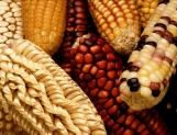 Monitorea UNAM secuencias transgénicas en alimentos elaborados con maíz