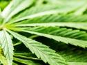 México puede convertirse en líder de la producción legal de cannabis y cáñamo industrial