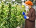 Convocan al ejercicio de Parlamento Abierto rumbo a la regulación del cannabis