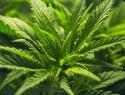 Entrará Senado a debate final en la regulación del cannabis