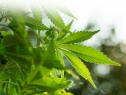 Regulación de cannabis debe ajustarse a necesidades y contexto de México