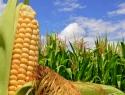 Polarizada la discusión de la liberación comercial del maíz transgénico