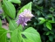 Incluir Salvia Divinorum en lista de sustancias psicotrópicas para regular su uso